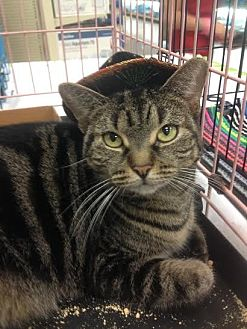 British Shorthair Cat for adoption in Miami, Florida - Bella