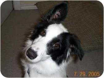 Border Collie Puppy for adoption in League City, Texas - Mandy