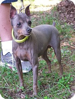 Miniature Pinscher Dog for adoption in Fredericksburg, Virginia - Nana