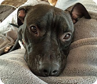 American Staffordshire Terrier Mix Dog for adoption in Troy, Michigan - Holly Berry