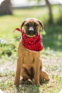 German Shepherd Dog/Labrador Retriever Mix Puppy for adoption in Pasadena, California - Luna