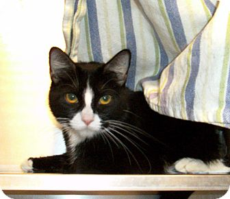 Domestic Shorthair Cat for adoption in El Cajon, California - Missy