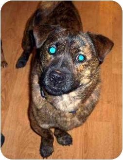 English Bulldog/Chow Chow Mix Dog for adoption in Inman, South Carolina - Bowser