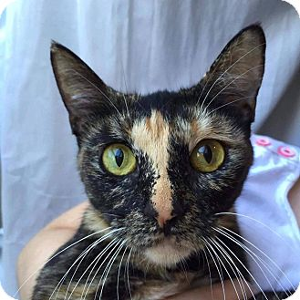 Domestic Shorthair Cat for adoption in Mansfield, Texas - Belle