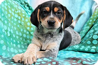 Beagle Mix Puppy for adoption in Staunton, Virginia - Tennsley