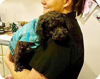 Miniature Poodle Mix Dog for adoption in Lima, Pennsylvania - Mr. Mosley