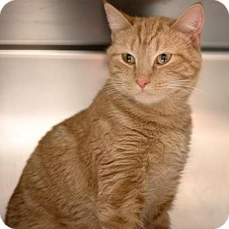 Domestic Shorthair Cat for adoption in Richmond, Virginia - Cinders