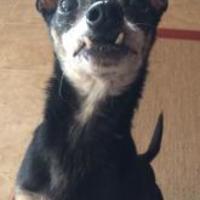 Adopt A Pet :: Chi-man YM - Schertz, TX
