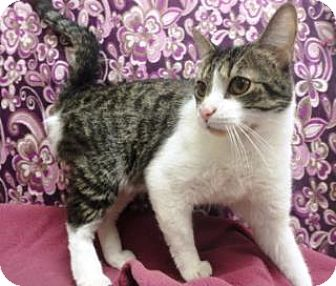 Domestic Shorthair Cat for adoption in Apple Valley, California - Bowie #168279