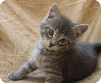 Domestic Shorthair Kitten for adoption in Crossville, Tennessee - Shawn