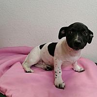 Adopt A Pet :: Dolly - Stockton, CA