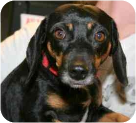 Dachshund Mix Dog for adoption in Westport, Connecticut - Shelly Bell