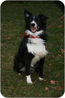Australian Shepherd/Border Collie Mix Dog for adoption in Baldwin, New York - Jasper