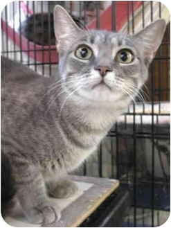 Domestic Shorthair Cat for adoption in Fort Lauderdale, Florida - Holly