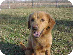 Golden Retriever/Chow Chow Mix Dog for adoption in Rochester Hills, Michigan - Roxie (pending)
