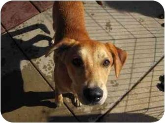 Hound (Unknown Type) Mix Dog for adoption in Alexandria, Virginia - Cayce