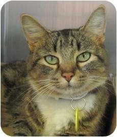 Domestic Shorthair Cat for adoption in Springfield, Massachusetts - Palestrina