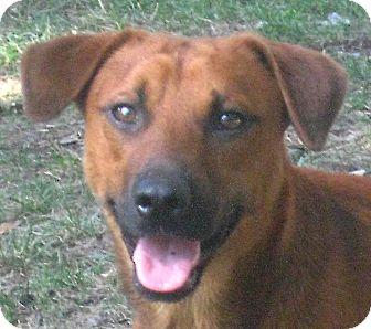 Hound (Unknown Type)/German Shepherd Dog Mix Puppy for adoption in Jacksonville, Florida - Buck