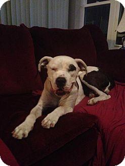 American Bulldog Dog for adoption in San Diego, California - Kira