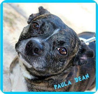 Boston Terrier/Corgi Mix Dog for adoption in North Augusta, South Carolina - PAULA DEAN