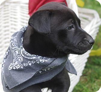 Labrador Retriever/French Bulldog Mix Puppy for adoption in South Dennis, Massachusetts - Maggie
