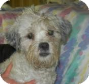 Poodle (Miniature)/Schnauzer (Miniature) Mix Dog for adoption in Antioch, Illinois - George Waggington ADOPTED!!