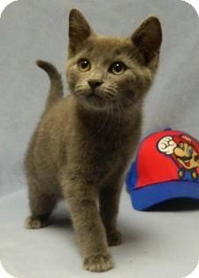 Domestic Shorthair Cat for adoption in Columbus, Nebraska - Sander