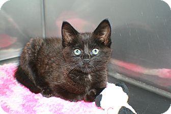 Domestic Longhair Kitten for adoption in Hibbing, Minnesota - DORA
