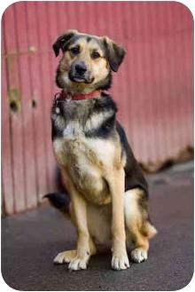 German Shepherd Dog Mix Dog for adoption in Portland, Oregon - Lacey