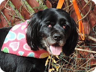Cocker Spaniel Mix Dog for adoption in Anderson, South Carolina - Sadie