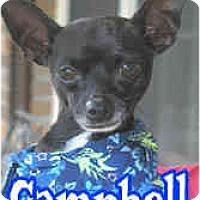 Adopt A Pet :: Campbell - Pembroke Pines, FL