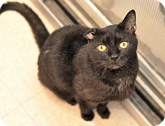 Domestic Shorthair Cat for adoption in Wilmington, Delaware - Coal