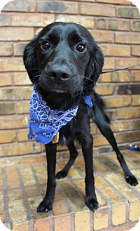 Spaniel (Unknown Type) Mix Dog for adoption in Benbrook, Texas - Sully