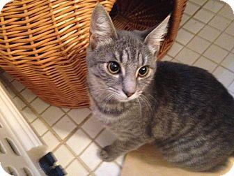 Domestic Shorthair Kitten for adoption in Randolph, New Jersey - Zoe & Pedro