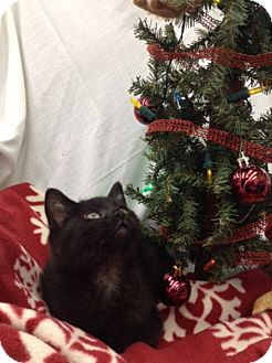 Domestic Shorthair Kitten for adoption in Fairborn, Ohio - Joey and Dean