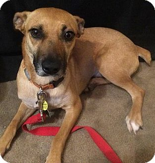 Shepherd (Unknown Type) Mix Dog for adoption in West Hartford, Connecticut - Farrah