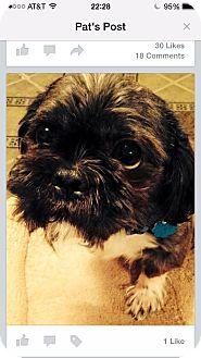 Shih Tzu Dog for adoption in Waterbury, Connecticut - Fluff