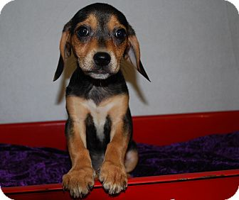 Beagle/Pug Mix Puppy for adoption in Waupaca, Wisconsin - Chili