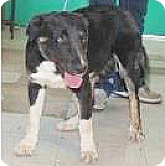 Border Collie Mix Dog for adoption in Spokane, Washington - Maggie