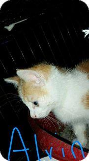 Domestic Shorthair Kitten for adoption in Salamanca, New York - Alvin
