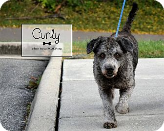 Schnauzer (Standard)/Poodle (Miniature) Mix Dog for adoption in Troutville, Virginia - Curly