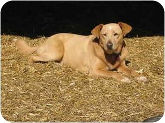 Labrador Retriever/Terrier (Unknown Type, Small) Mix Dog for adoption in Portsmouth, Rhode Island - Hazel