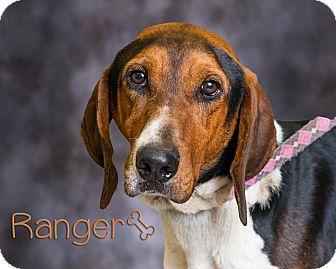 Hound (Unknown Type)/Beagle Mix Dog for adoption in Somerset, Pennsylvania - Ranger