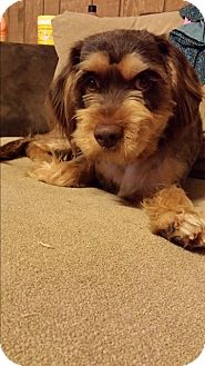 Schnauzer (Standard) Mix Dog for adoption in Quincy, Indiana - Cookie