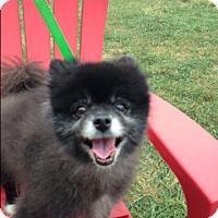 Adopt A Pet :: Bandito - Cumberland, MD