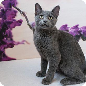 Domestic Shorthair Cat for adoption in Houston, Texas - Travis