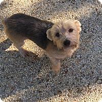 Adopt A Pet :: Zoe - Flower Mound, TX