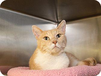 Domestic Shorthair Cat for adoption in Seville, Ohio - Tom Hanks