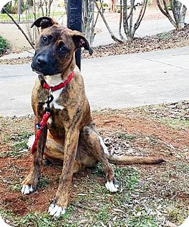 Boxer/Collie Mix Dog for adoption in Lawrenceville, Georgia - Luke