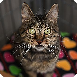 Domestic Shorthair Cat for adoption in Kanab, Utah - Cassandra